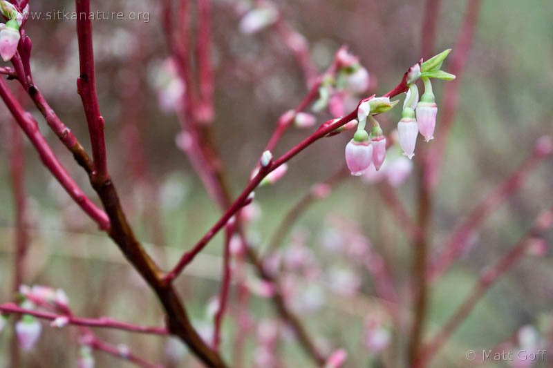 Early Blueberry (Vaccinium ovalifolium) Flowers