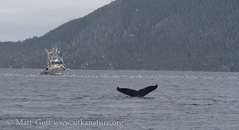 Humpbacks, Humans and Herring