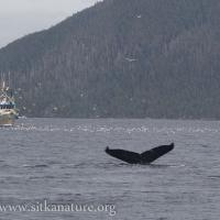 Humpbacks, Humans and Herring