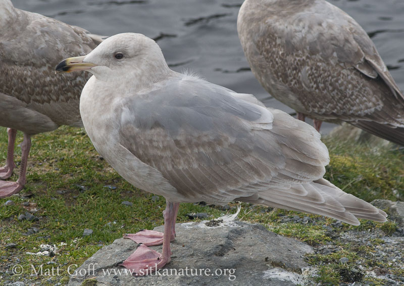 Second Winter Gull