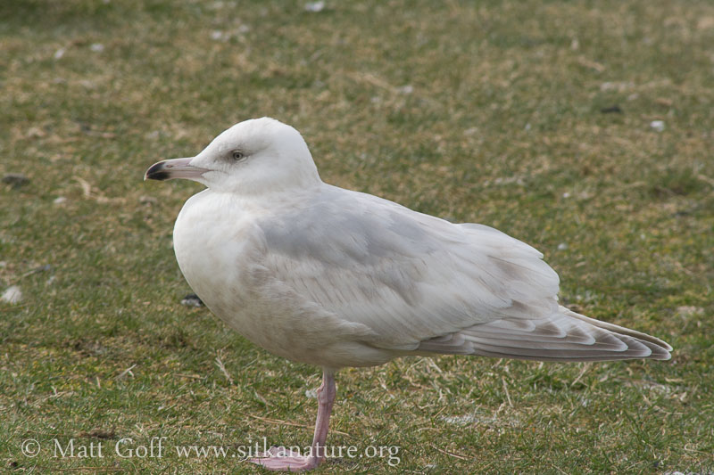 Pale Thayer's(?) Gull
