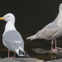 Herring Gull with young Glaucous-winged Gull