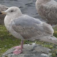 Second Winter Gull