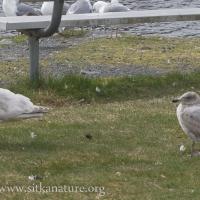 Pale Thayer's(?) Gull