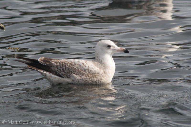 Immature Gull (Larus sp)