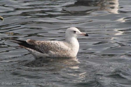 Immature Gull (Larus sp)