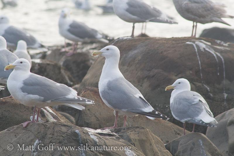 Glaucous-winged X Herring Gull Hybrid?