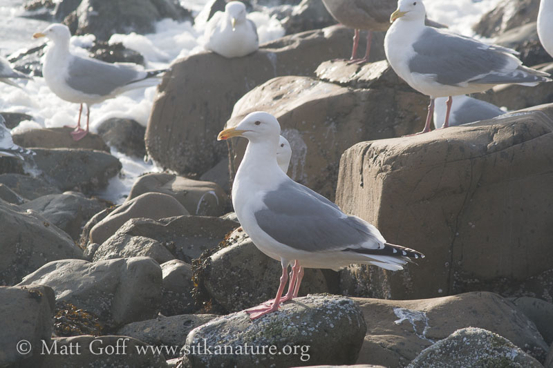 Glaucous-winged X Herring Gull Hybrid?