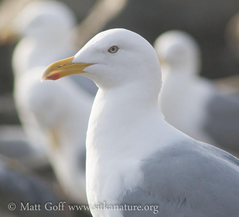 Thayer's Gull (?)