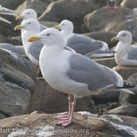 Thayer's Gull (?)