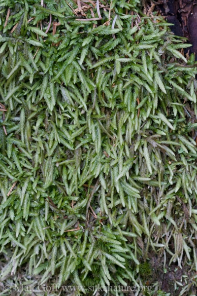 <em>Buckiella undulata</em>