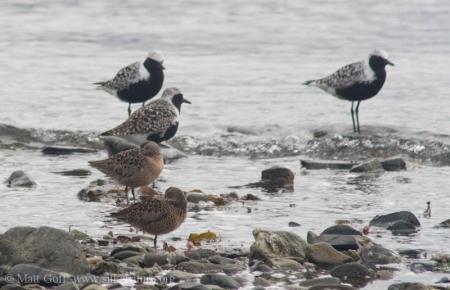 Shorebirds at Totem Park