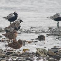 Shorebirds at Totem Park