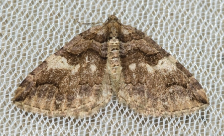 Variable Carpet (Anticlea vasiliata)