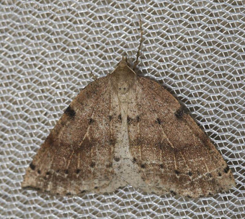 Thallophaga hyperborea