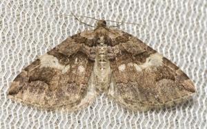 Variable Carpet (Anticlea vasiliata)