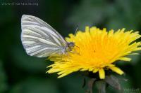 Margined White (Pieris marginalis)