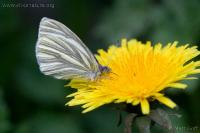 Margined White (Pieris marginalis)