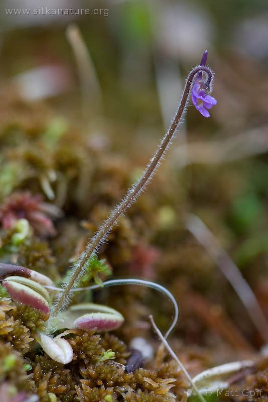Hairy Butterwort (Pinguicula villosa)