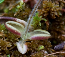Hairy Butterwort (Pinguicula villosa)