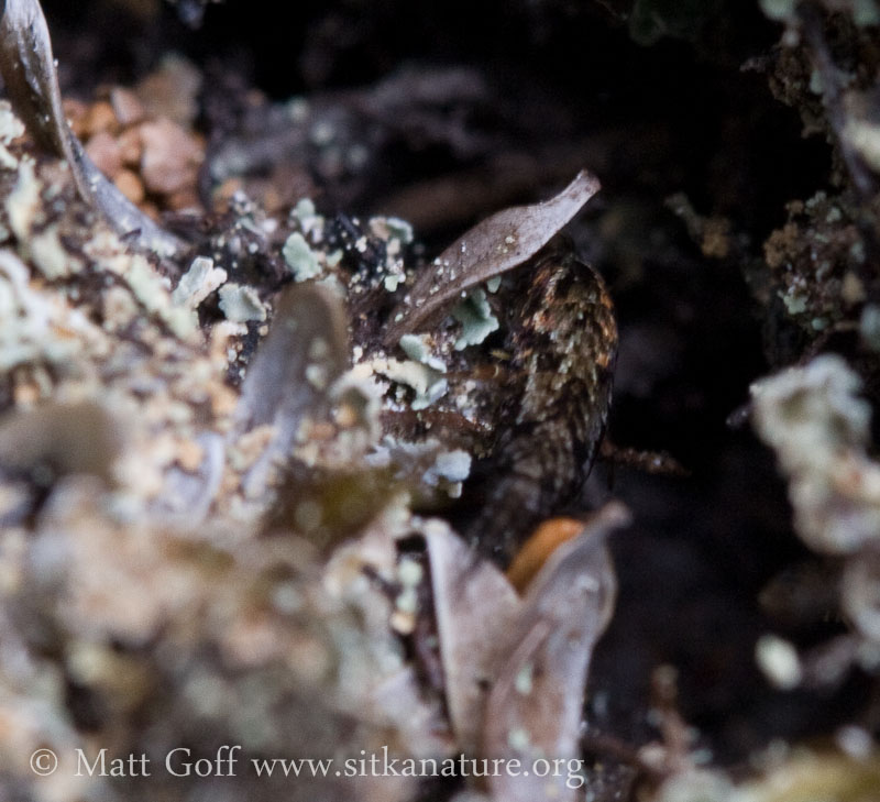 Camoflage Bristletail