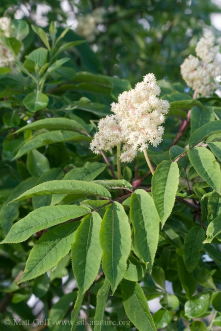 Red Elderberry (Sambucus racemosa) in Bloom