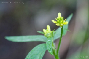 Little Buttercup (Ranunculus uncinatus)