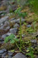Little Buttercup (Ranunculus uncinatus)