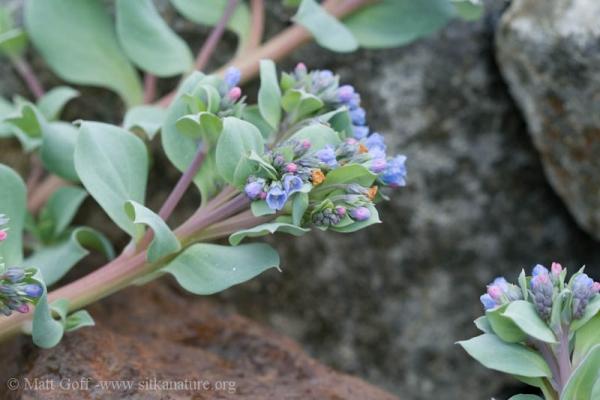 Oysterleaf (Mertensia maritima)