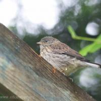Dark-eyed Junco Fledgling