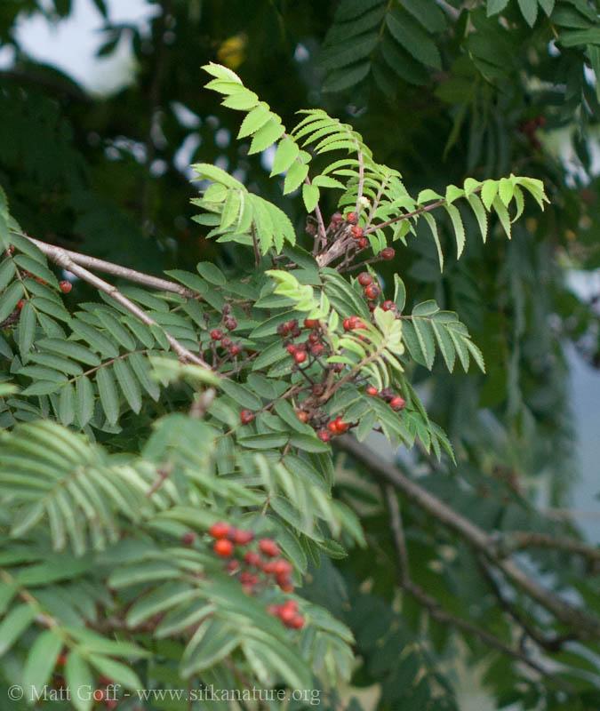 Mountain Ash  (Sorbus aucuparia)