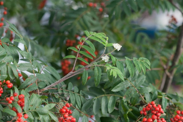 Mountain Ash  (Sorbus aucuparia)