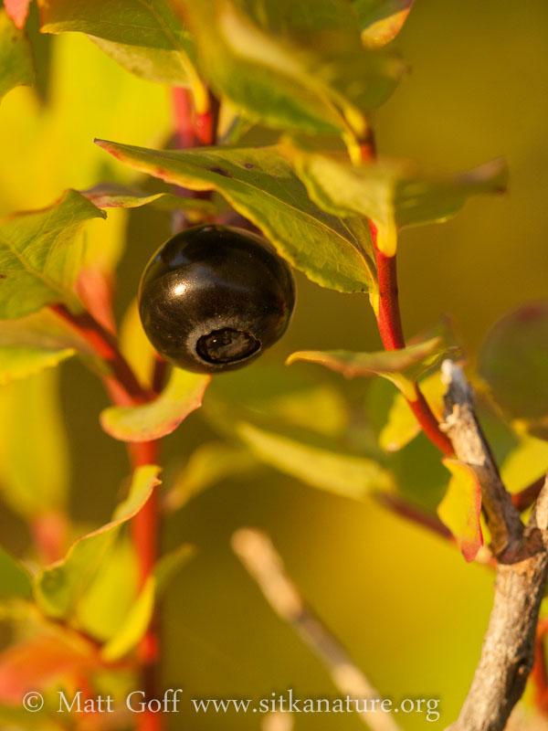 Alaska Blueberry (Vaccinium alaskense)