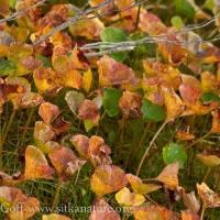 Deer Cabbage (Nephrophyllidium crista-galli)