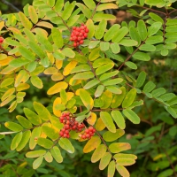 Sitka Mt. Ash (Sorbus sitchensis) with Fruit