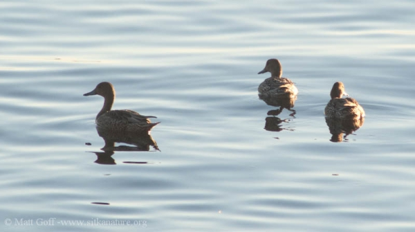 Northern Pintails (Anas acuta)