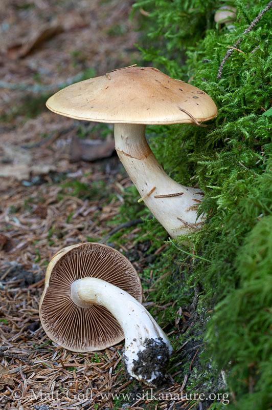 Cortinarius montanus