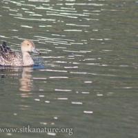 Northern Pintail on Swan Lake