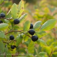 Blueberries (Vaccinium ovalifolium)