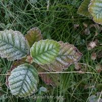 Frost on Alder Leaves