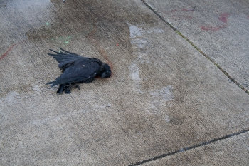 Crows Responding to Death