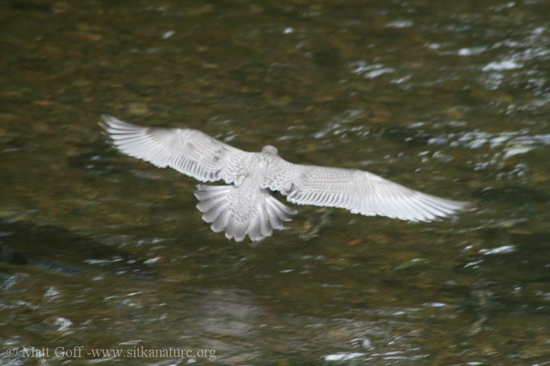 Juvenile Thayer's Gull (Larus thayeri)