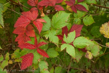 Fall Color - Red Leaves on Salmonberry