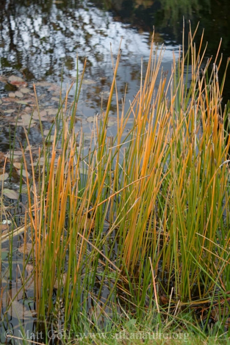 Common Spikerush (Eleocharis palustris)