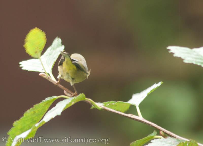 Yellow Warbler?