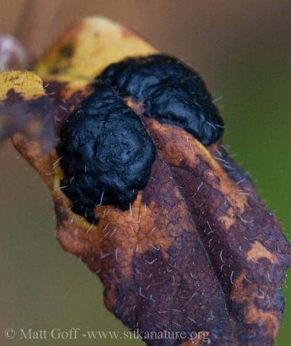 Tar Spot Fungus (Rhytisma arbuti) on False Azalea (Menziesia ferruginea)