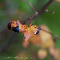 Tar Spot Fungus (Rhytisma arbuti) on False Azalea (Menziesia ferruginea)