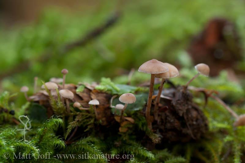 Spruce Cone Mushroom (Baeospora myosura)