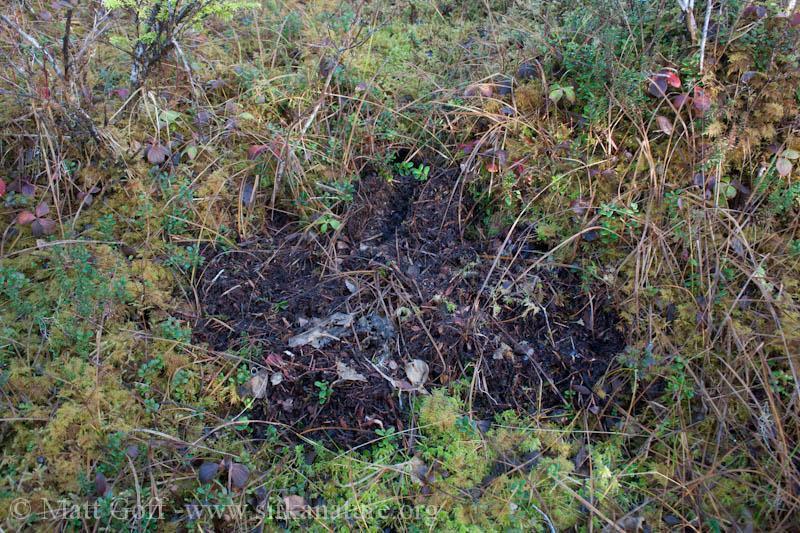 Vole (Microtus oeconomus) Diggings