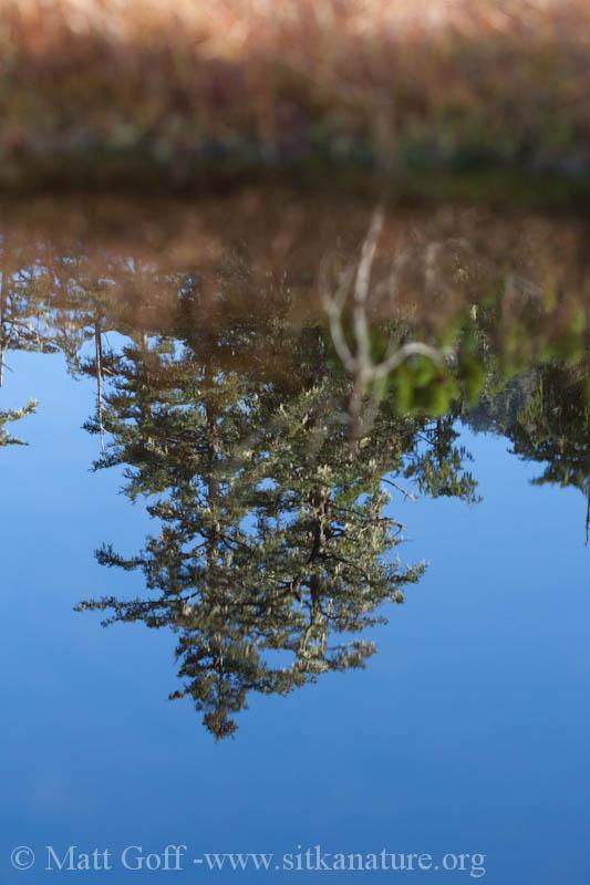 Muskeg Pool Reflection
